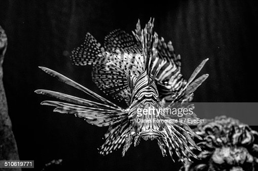 Lionfish in sea