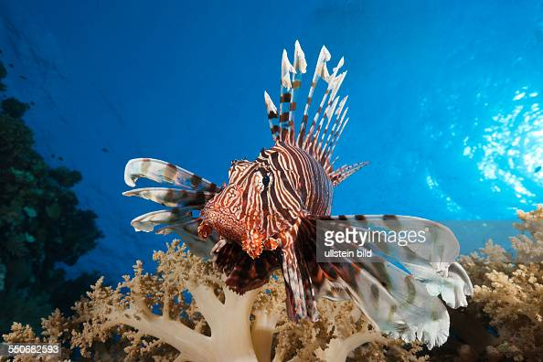 Lionfish over Coral Reef Pterois miles Elphinstone Red Sea Egypt