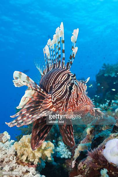 Lionfish over Coral Reef Pterois miles Shaab Maksur Red Sea Egypt