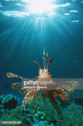 Lionfish (Pterois volitans)