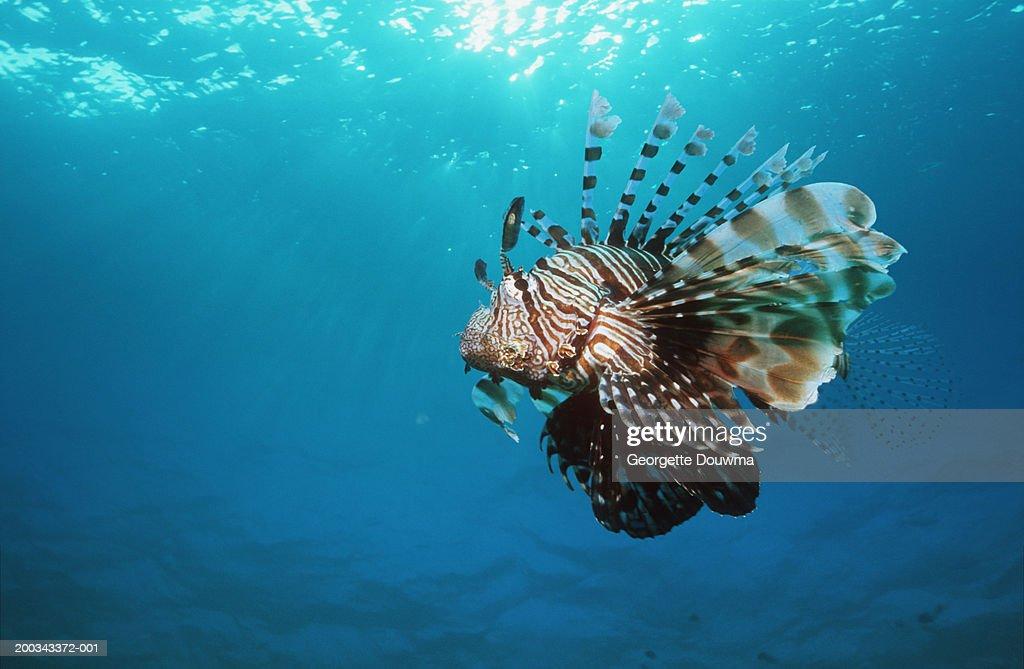 Lionfish (Pterois volitans) : Stock Photo