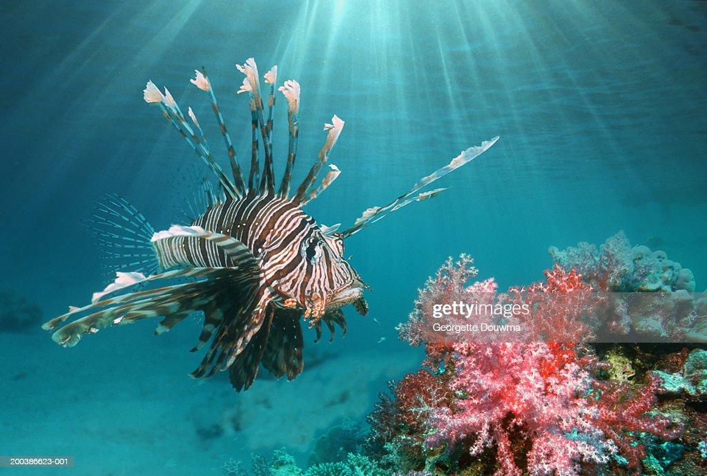 Lionfish (Pterois volitans) (digital composite) : Stock Photo