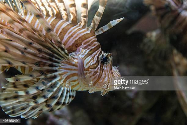 Lionfish, pterols volitans