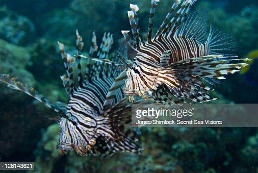 Lionfish, Solomon Islands : Stock-Foto