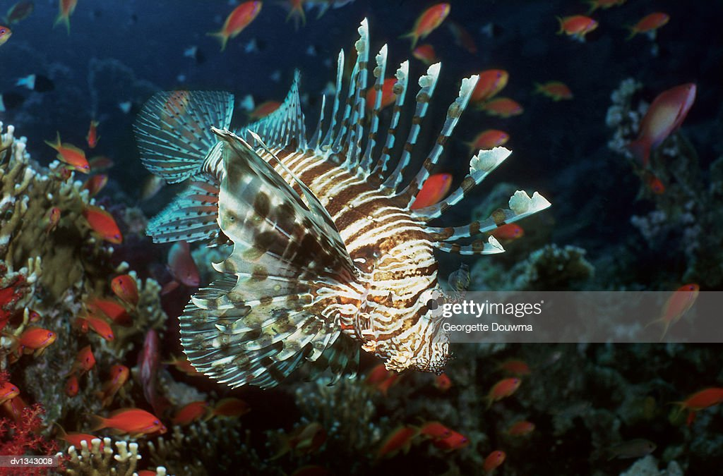 Lionfish Swimming in Red Sea, Egypt, Africa : Stock Photo