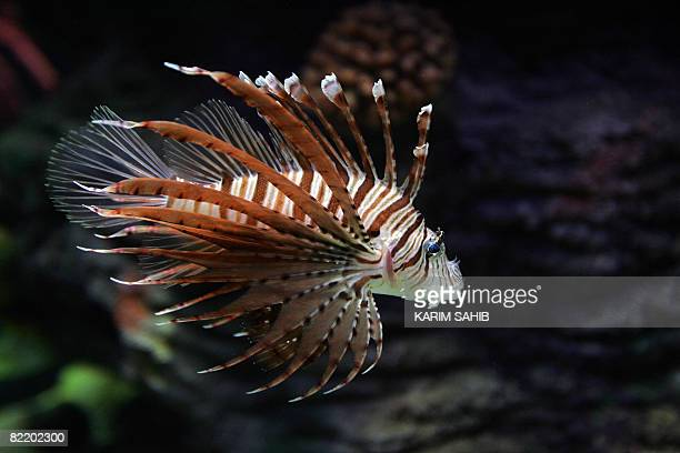 A Lionfish swims in a display tank in the aquarium on the United Arab Emirate of Sharjah on August 6 2008 The new stateoftheart indoor aquarium in...