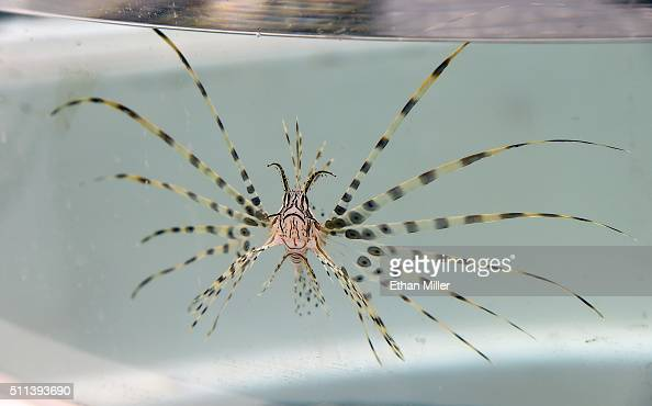 A lionfish swims in a tank at Artisanal Foods on February 19 2016 in Las Vegas Nevada