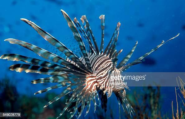 lionfish turkeyfish Pterois volitans Palau Pacific ocean