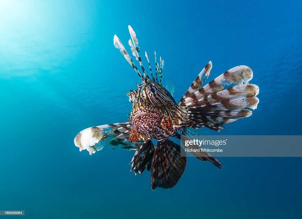 A Lionfish with a blue water background : Stock Photo