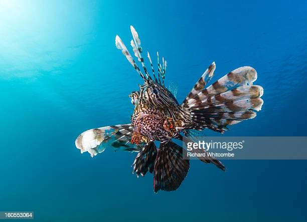 A Lionfish with a blue water background