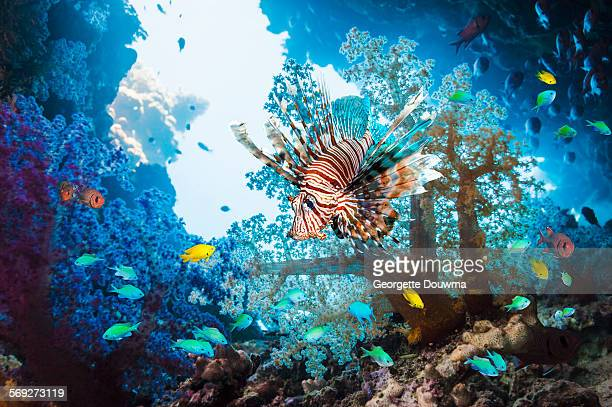 Lionfish with corals