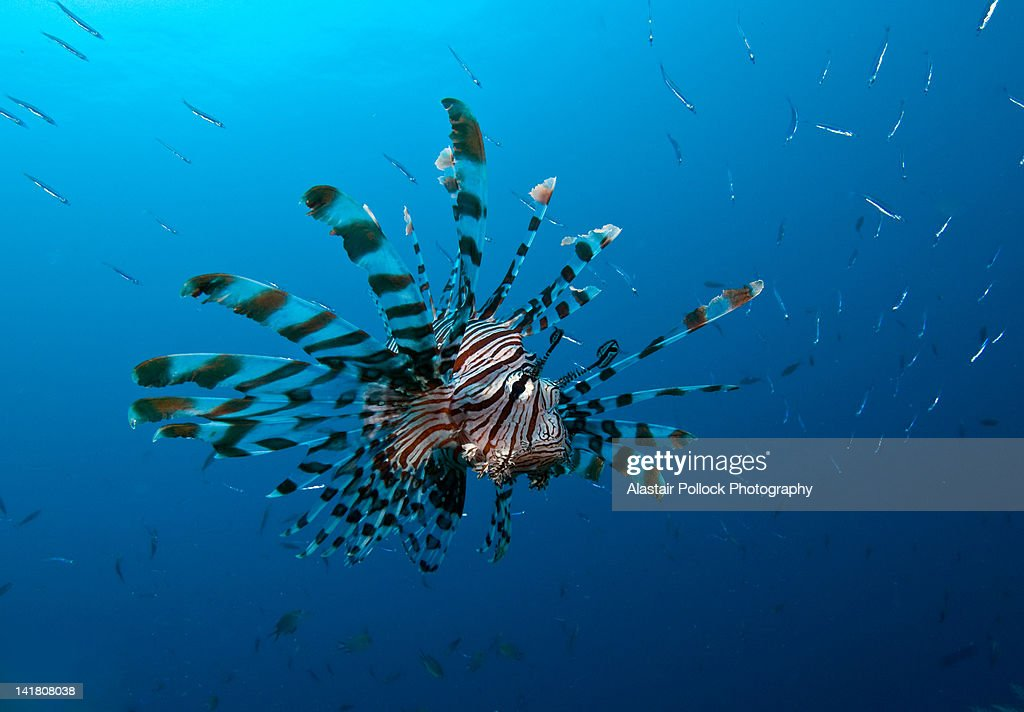 Lionfish with school of fish : Stock Photo