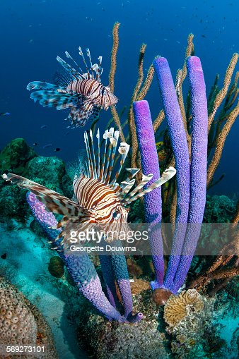 Lionfish with vase sponges