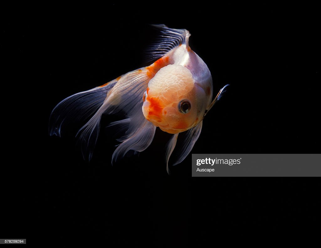 Lionhead goldfish Carassius auratus auratus a breed that was developed in China in the 1600s It has no dorsal fin It can grow to 59 cm long Native to...