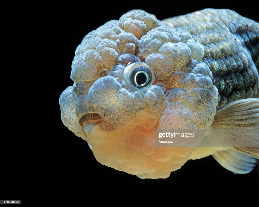 Lionhead goldfish Carassius auratus auratus a freshwater fish without a dorsal fin can grow to 59 cm Its head growths entirely cover the head cheeks...