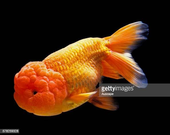 Lionhead goldfish Carassius auratus auratus in aquarium Freshwater fish can grow to 59 cm Lionhead Ranchu have no dorsal fin origin East Asia