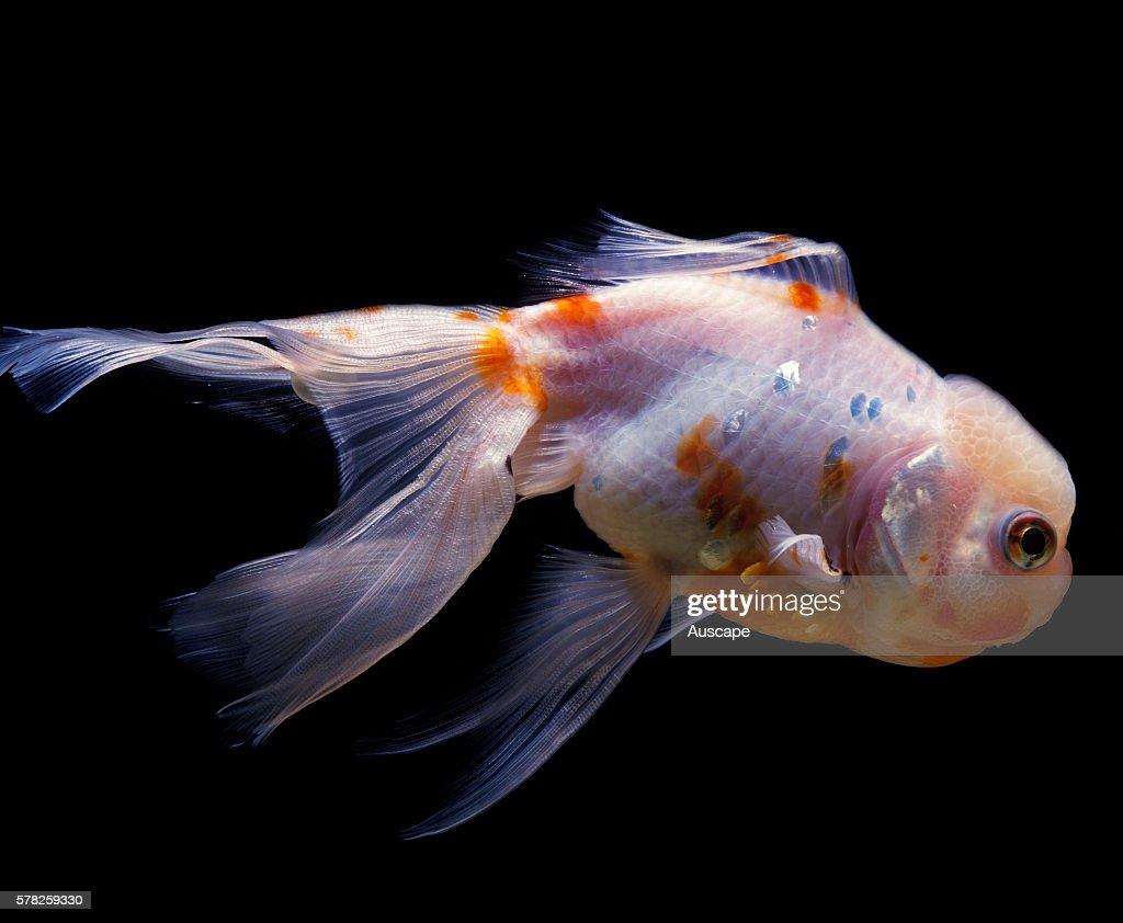Lionhead goldfish Carassius auratus auratus in aquarium Freshwater fish can grow to 59 cm Lionhead Ranchu have no dorsal fin
