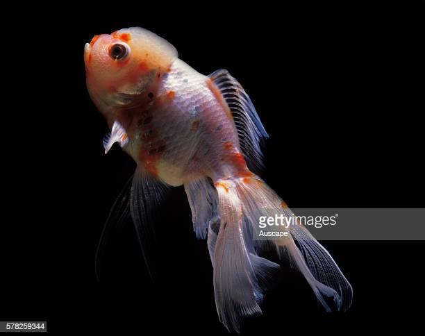 Lionhead goldfish Carassius auratus auratus in aquarium