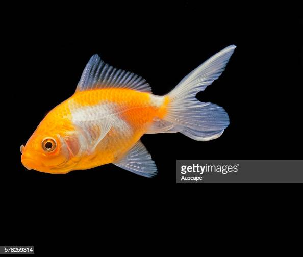Lionhead goldfish Carassius auratus auratus young specimen before the head growths have developed Freshwater fish can grow to 59 cm Lionheads have no...