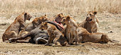 A large pack of lions surrounding their freshly killed buffalo dinner.