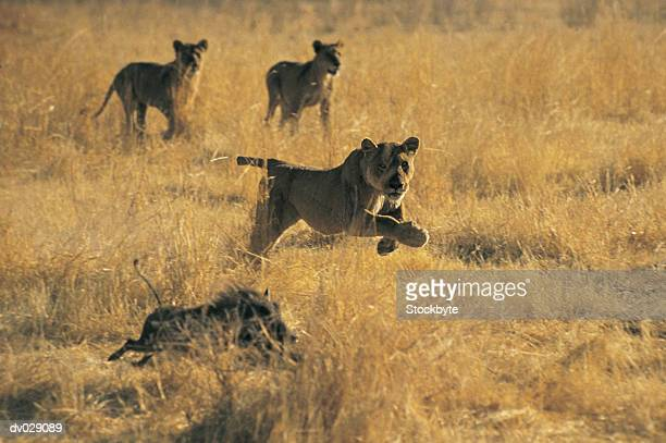 Lions and Warthog