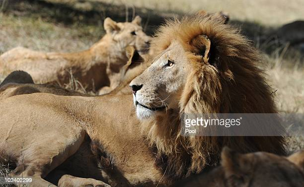 Lions are seen at the Lion Park on June 25 2010 in Lanseria South Africa Players of the German national football team visit the park while waiting...