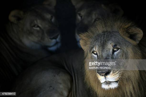 Lions are seen at the national zoo in San Salvador on July 2 2015 AFP PHOTO / Marvin RECINOS