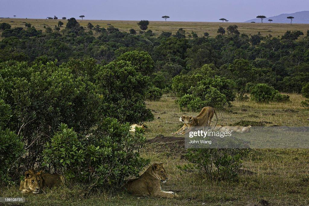 Lions at Masai Mara National Reserve : Stock Photo