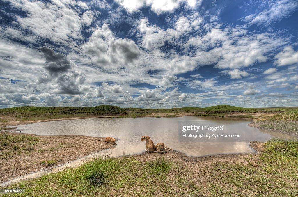 Lions at Serengeti : Stock Photo