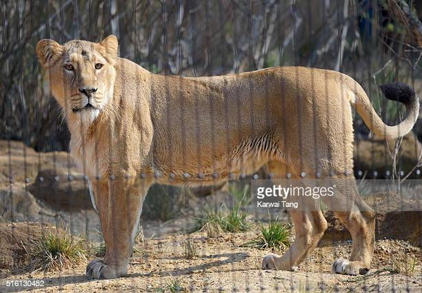 Lions at the Land of the Lions enclosure which was officially opened by Queen Elizabeth II and Prince Philip Duke of Edinburgh at London Zoo on March...