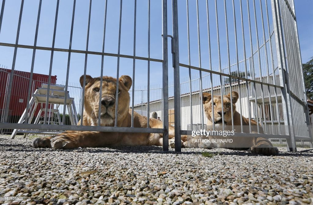 Lions belonging to French lion tamer Frederik Rosel are pictured on April 17, 2013 in Sainte-Livrade-sur-Lot, southwestern France. Rosel awaits to sign a contract with a circus. AFP PHOTO / PATRICK BERNARD