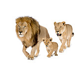 Lion's family in front of a white background.