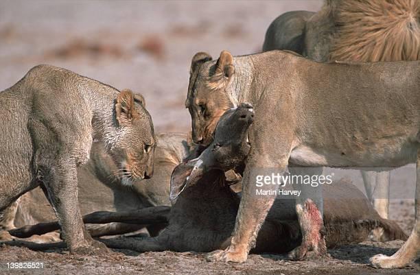 Lions feeding on kudu kill. Etosha National Park. Namibia.