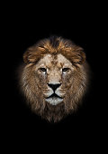 lion's head on a black background