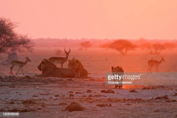 Lions (Panthera leo) in a dusty red sunset, Nxai Pan, Makgadikgadi Pans National Park, Botswana, Africa