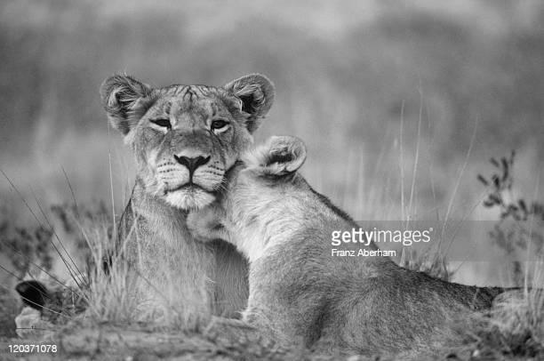 Lions in gentle mood