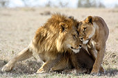 Two consorting lions (Panthera leo) nuzzle in the shade. Ol Pejeta Conservancy, Kenya.