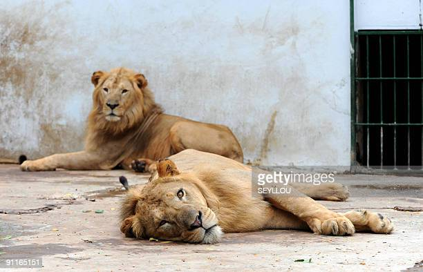 Lions lay inside a cage at the Dakar Zoo on September 25 2009 The seven hectare complex openned in 1935 in the Hann Forest is according to the Zoo's...