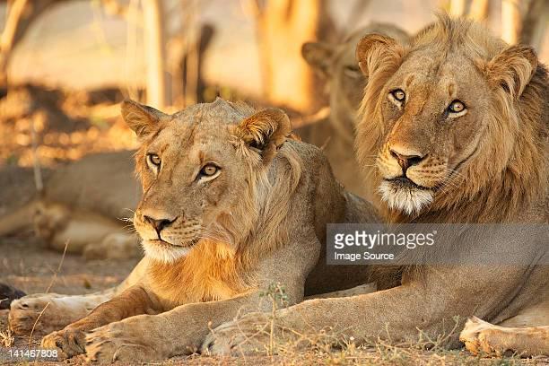 Lions, Mana Pools, Zimbabwe