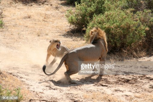 Lions Mating 6