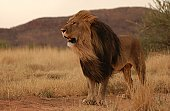 Lions - Namibia, Africa
