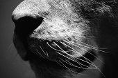 Lion's nose