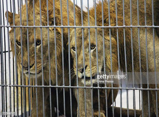 Lions of Hangzhou Sapphire Circus wait for training at the Wuhan Acrobatics Hall on October 25 2006 in Wuhan of Hubei Province China The circus is...