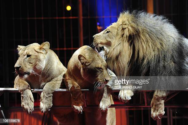 Lions of Swiss trainer Dominique Gasser are pictured as he performs during the 'Prestige' Bouglione circus show at the Cirque d'Hiver in Paris on...