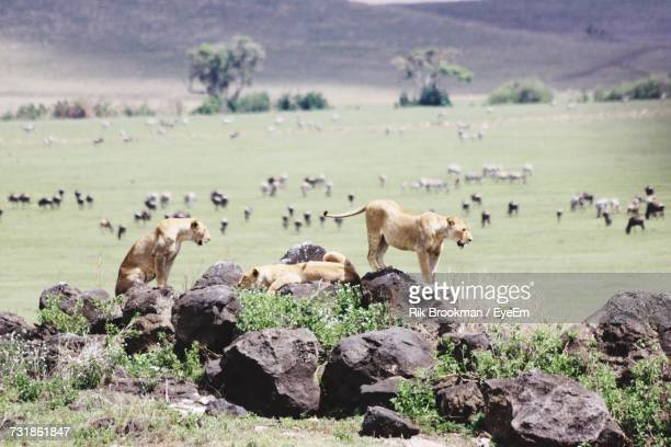 Lions On Rock By Field With Domestic Animals Grazing On It