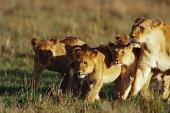 Lions on savannah