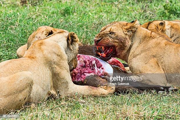 Lions -Panthera leo- feeding on the hunted prey, Ngorongoro Crater, Tanzania