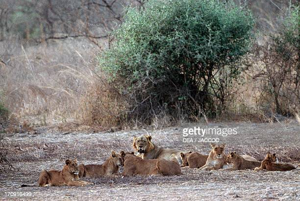 Lions Pendjari National Park Benin