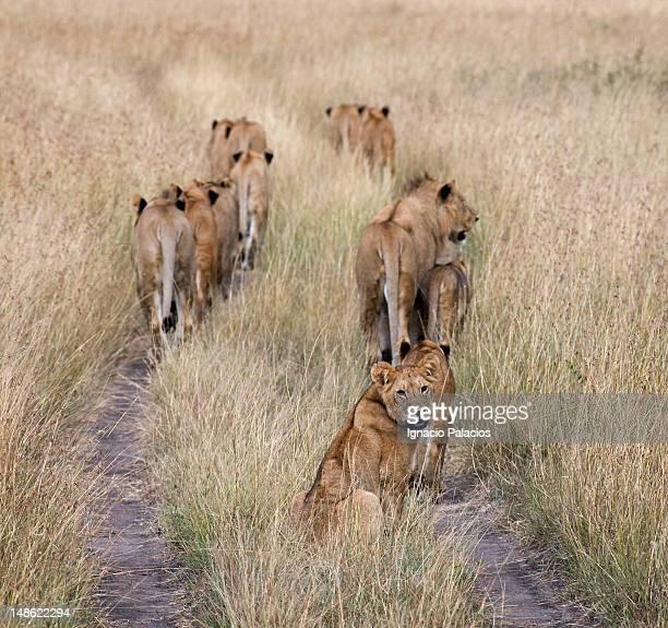 Lions (panthera leo).