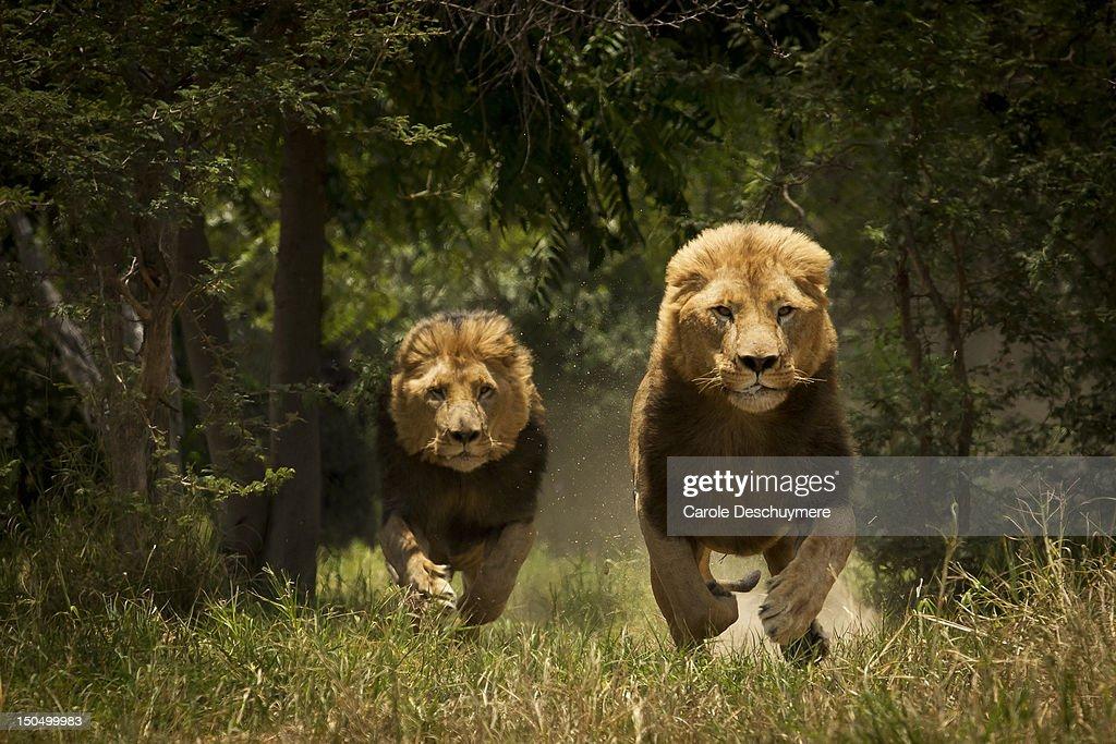 Lions : Stock Photo